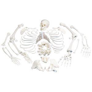 Разборные модели скелета