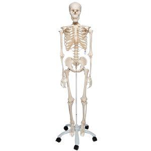 Модели скелета человека