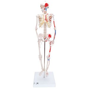 Модели мини-скелетов