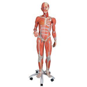 Анатомические модели
