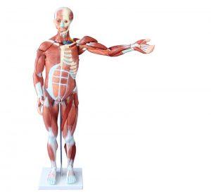 Модели мускулатуры человека