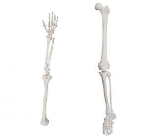 Скелетные конечности