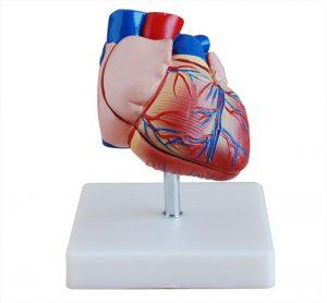 Модели сердца